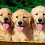 Come Scegliere un Golden Retriever